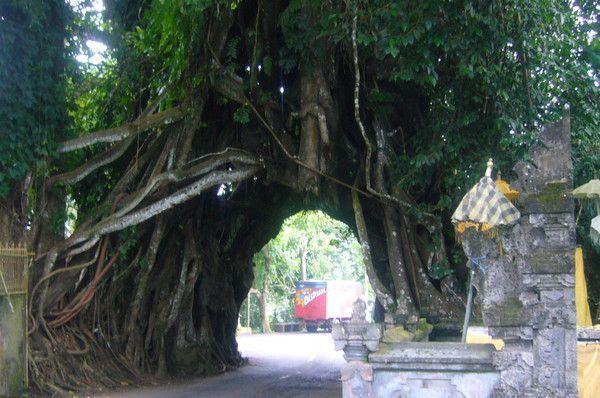 Un tunnel sous un arbre centenaire